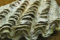 Concha do mar colorida no fundo marrom Tridacna Chametrachea fotografia de stock