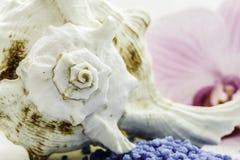 Concha do mar de Brown imagens de stock royalty free