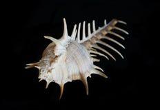 Concha do mar do murex de Venus Comb isolada foto de stock
