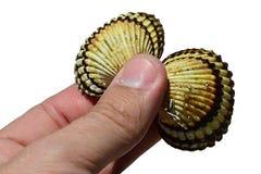 A concha do mar dos moluscos do molusco bivalve realizou na mão esquerda adulta do homem no fundo branco, vista superior imagem de stock