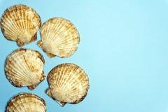 Concha do mar do escudo do oceano isolada no fundo azul colorido Textura de Shell, conceito mínimo imagem de stock