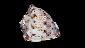 """Concha do mar isolada no fundo preto, close-up do †da luz branca """", detalhe filme"""