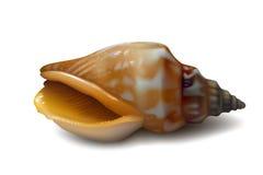 Concha do mar marrom alaranjada realística no fundo branco Imagem de Stock Royalty Free