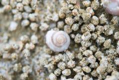 Concha do mar minúscula Imagem de Stock Royalty Free