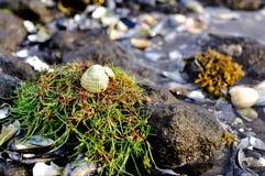 Concha do mar nas rochas Fotografia de Stock Royalty Free