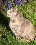 Concha-gato atigrado Cat Watching un pájaro y el Meowing Imágenes de archivo libres de regalías
