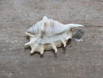 Concha marina Imagenes de archivo