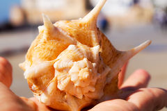 Concha marina Fotografía de archivo