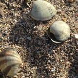 Concha marina Imagen de archivo libre de regalías