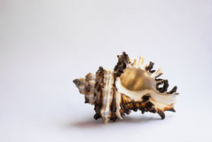 Concha marina Imágenes de archivo libres de regalías