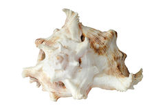 Concha marina Imagen de archivo