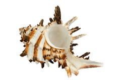 Concha marina Fotos de archivo libres de regalías