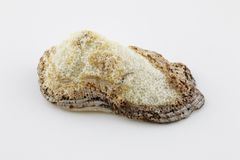 Concha marina aislada en el primer blanco del fondo Imagen de archivo libre de regalías