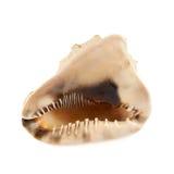 Concha marina aislada sobre el blanco Foto de archivo libre de regalías