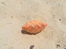 Concha marina anaranjada de la almeja en la arena blanca de la playa imagenes de archivo
