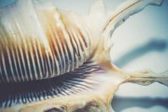 Concha marina claveteada grande Fotografía de archivo
