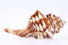 Concha marina de la concha del caballo aislada en el fondo blanco Fotos de archivo