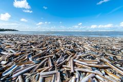 Concha marina de la funda del cuchillo en una playa imagen de archivo libre de regalías