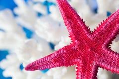 Concha marina del primer en el fondo blanco y azul Imagen de archivo