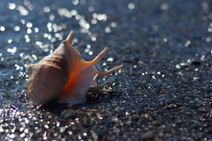 Concha marina del truncata del lambis en la playa de la tabla fotografía de archivo libre de regalías