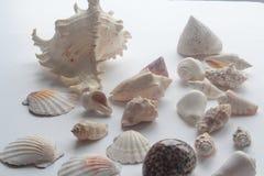 Concha marina del verano Fotografía de archivo libre de regalías