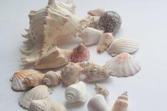 Concha marina del verano Imagen de archivo libre de regalías
