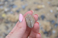 Concha marina a disposición Foto de archivo