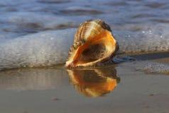 Concha marina en costa de mar Imagenes de archivo