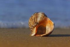 Concha marina en costa de mar Fotografía de archivo libre de regalías