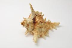 Concha marina en el fondo blanco Fotos de archivo