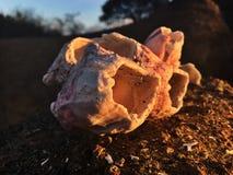 Concha marina en una playa en la puesta del sol fotos de archivo libres de regalías