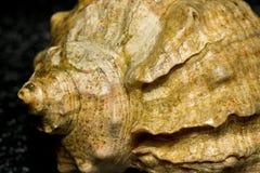 Concha marina marrón grande Fotografía de archivo