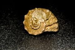 Concha marina marrón grande Imagen de archivo