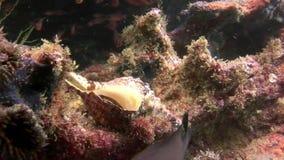 Concha marina para el cangrejo de ermitaño subacuático en las Islas Galápagos metrajes