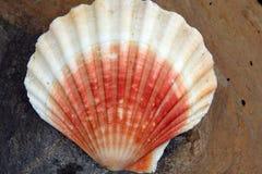 Concha marina roja y blanca Foto de archivo libre de regalías