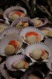 Conchas de Abanico arkivbilder
