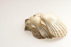 Conchas de berberecho Fotos de archivo
