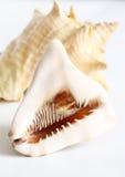 Conchas de berberecho grandes aisladas fotografía de archivo libre de regalías