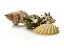 Conchas do mar Fotografia de Stock