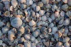 Conchas do mar azuis, cinzentas e brancas na luz solar da manhã Conceito dos escudos Escudos na praia do mar Conceito tropical do fotos de stock royalty free