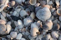 Conchas do mar azuis, cinzentas e brancas na luz solar da manhã Conceito dos escudos Escudos na praia do mar Conceito tropical do fotos de stock