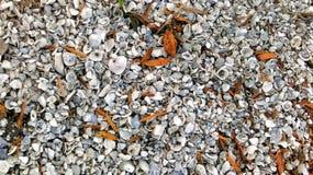 Conchas do mar de Florida do Seminole Foto de Stock Royalty Free