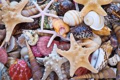 Conchas do mar e fundo das estrelas do mar Imagem de Stock