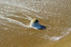 Conchas do mar entre a linha costeira Fotos de Stock Royalty Free