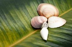 Conchas do mar na forma de uma flor no fundo de uma folha do ficus foto de stock