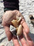 Conchas do mar na mão Fotos de Stock Royalty Free