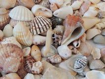 Conchas do mar no fundo da praia horizontal Fotografia de Stock Royalty Free