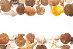 Conchas marinas aisladas en el fondo blanco Imagen de archivo