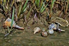 Conchas marinas de la Costa del Golfo III Imagen de archivo libre de regalías