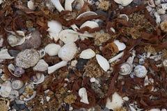 Conchas marinas en la Costa del Pacífico de Chile fotografía de archivo